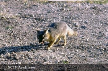 Richard Hegeman sam the fox4.jpg