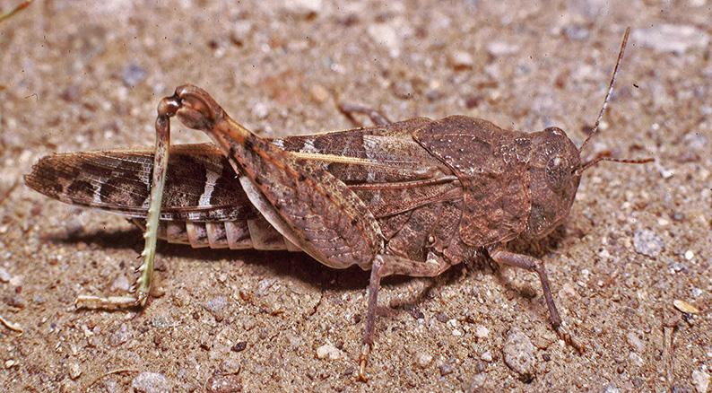 File:Leprus intermedius female Sta Catalina.jpg