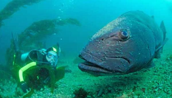 File:Black sea bass Anacapa.png