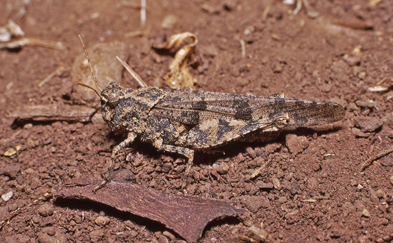 File:Trimerotropis santabarbarae Sta Barbara I.jpg