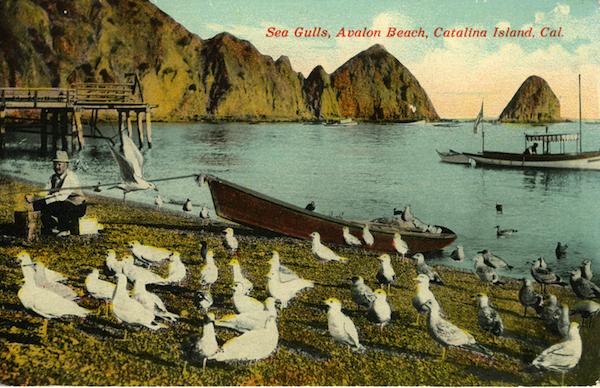 File:Sea Gulls, Avalon Beach, Catalina Island010.jpg