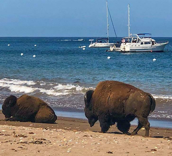 File:Beach bison.png