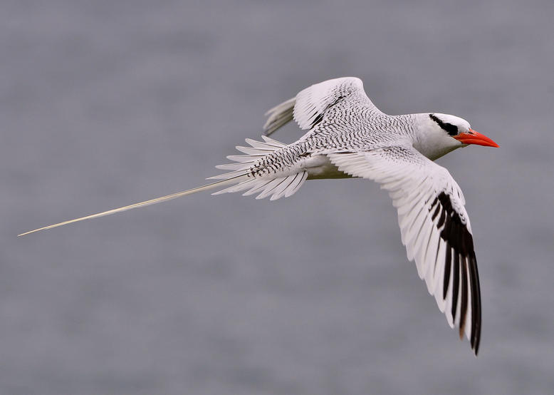 File:Tropicbird .png
