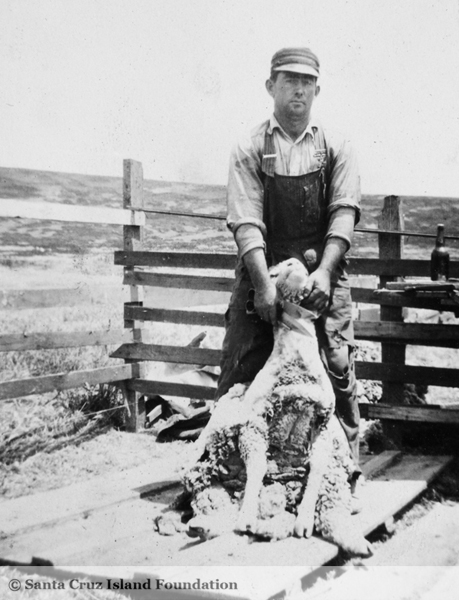 File:Cleve Hyder shearing sheep c. 1918.jpg