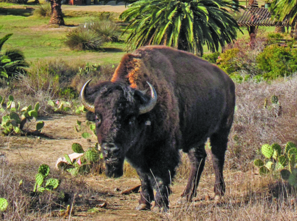 File:Big bison.png