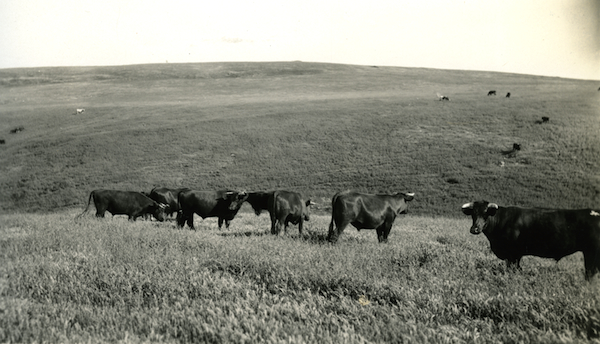 Steers in the Potrero Mediano, showing excellent feed conditions on range from which sheep are excluded.  Santa Cruz Island, Symmes, 1922