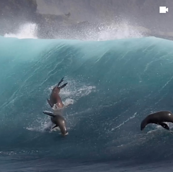 File:Surfing sea lions.png