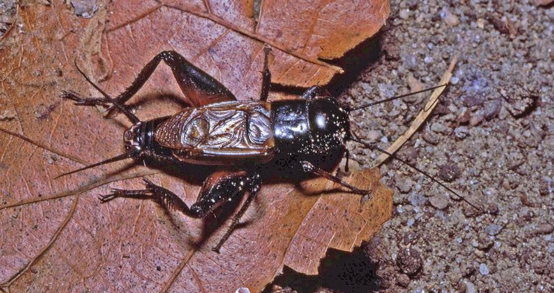 File:Gryllus ?saxatilis male Sta Catalina 2.jpg