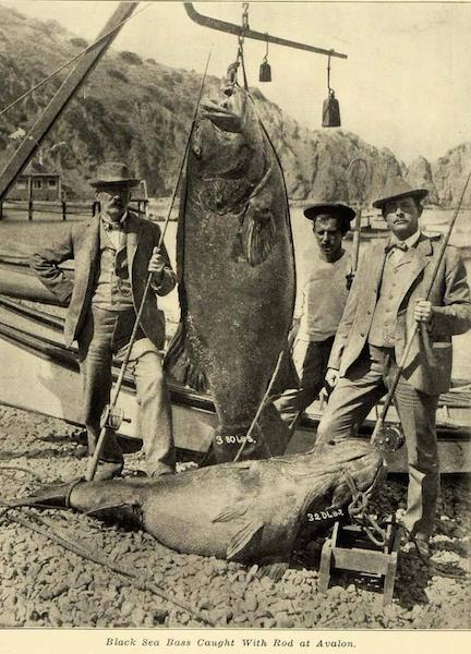 File:Jewfish 1907.png