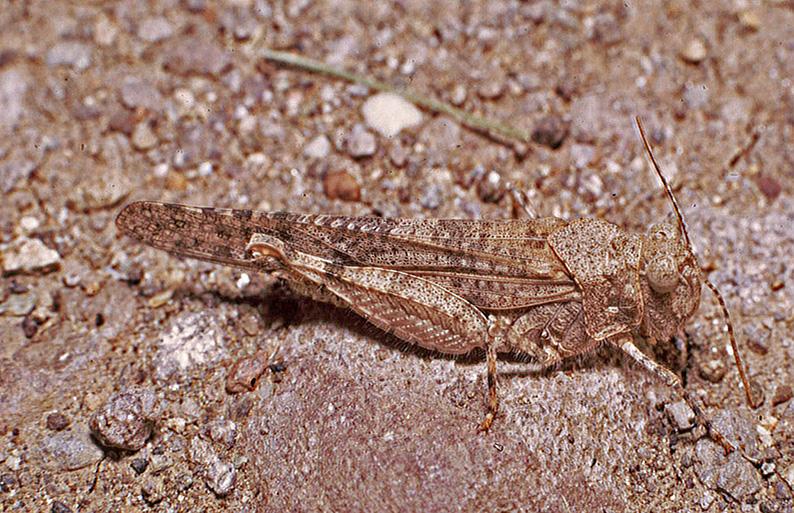 File:Trimerotropis pseudofasciata Sta Catalina 2.jpg