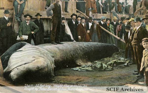 File:08 Basking Shark 14000lbs.jpg