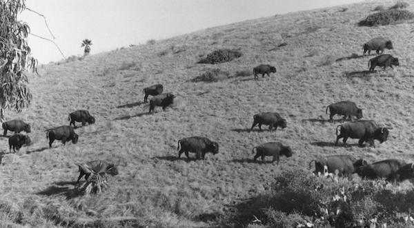 File:Bison herd.png