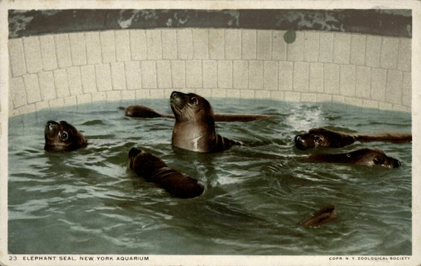 File:Townsend's 6 pups 1911.png
