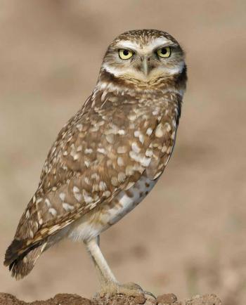 Burrowing Owl.png