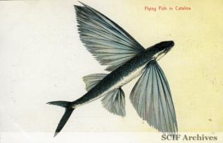 03 Flying fish in Catalina.jpg