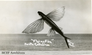 02 Flying fish, Santa Catalina.jpg