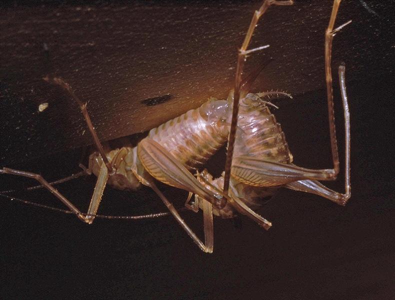 File:Farallonophilus mating pair .jpg