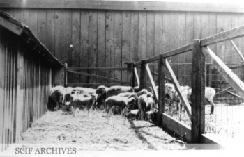 SMI Sheep 3 1917.jpg