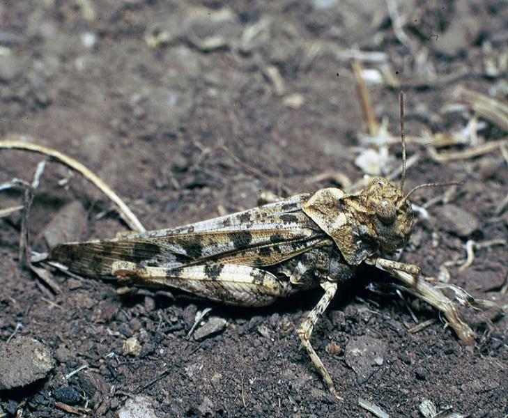 File:Dissosteira pictipennis Sta Catalina.jpg