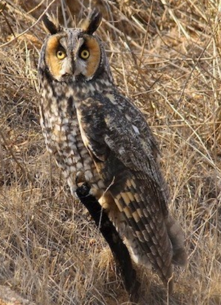 File:Long Eared Owl.png