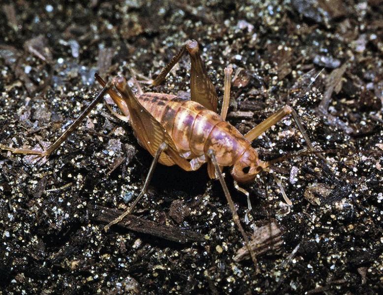 File:Farallonophilus cavernicolus female.jpg