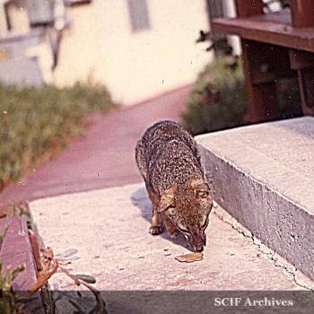 Richard Hegeman Sam the fox3.jpg